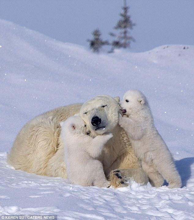 zabavniemedvejata 3 Зимние забавы белых медвежат и их мамы