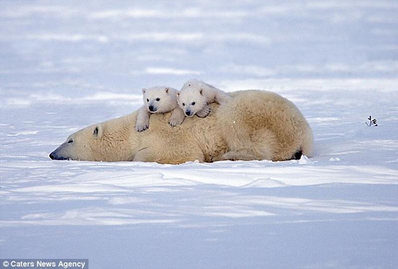zabavniemedvejata 5 Зимние забавы белых медвежат и их мамы