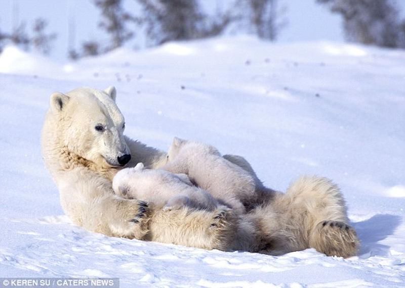 zabavniemedvejata 6 Зимние забавы белых медвежат и их мамы