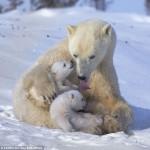 Зимние забавы белых медвежат и их мамы
