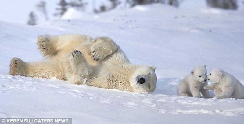 zabavniemedvejata 8 Зимние забавы белых медвежат и их мамы