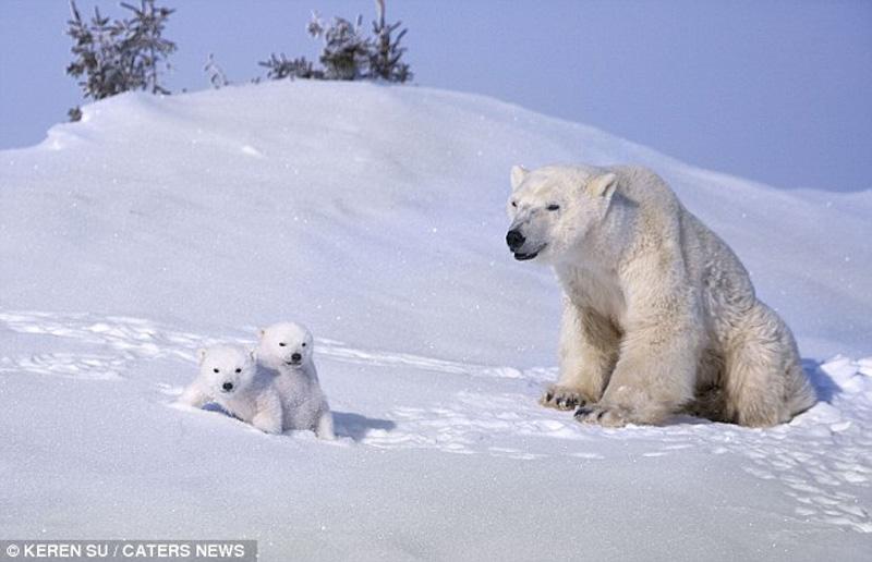 zabavniemedvejata 9 Зимние забавы белых медвежат и их мамы