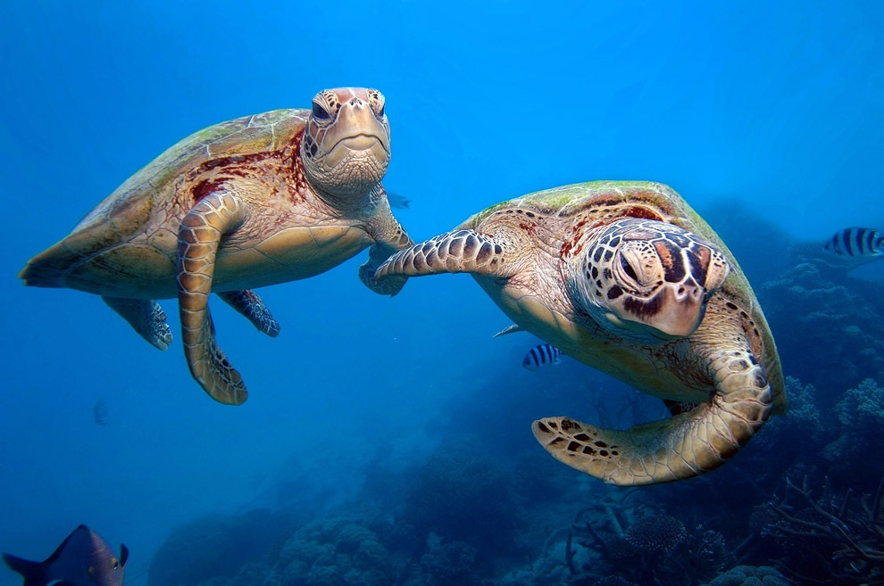 a description and an overview of the green turtle
