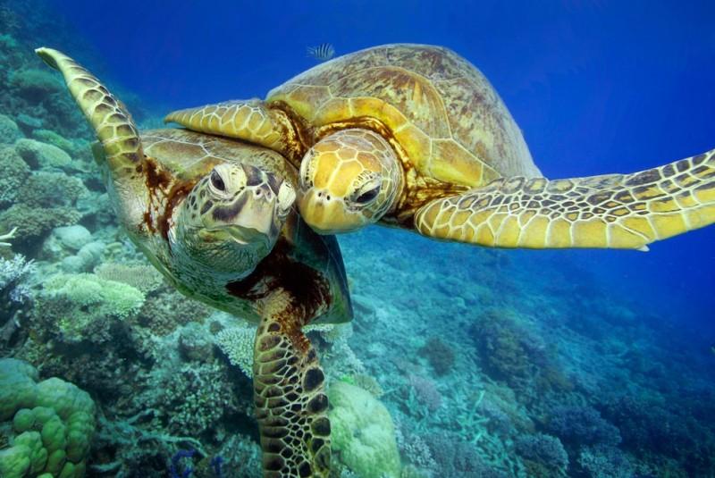 Зелёные черепахи на Большом Барьерном рифе