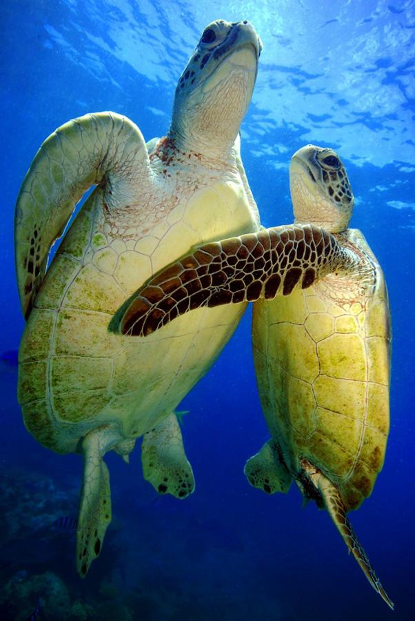 Зелёные черепахи на большом барьерном