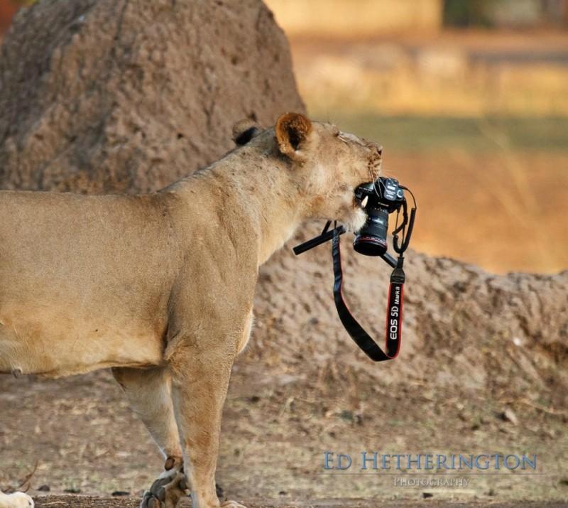 Львица утащила главный инструмент фотографа