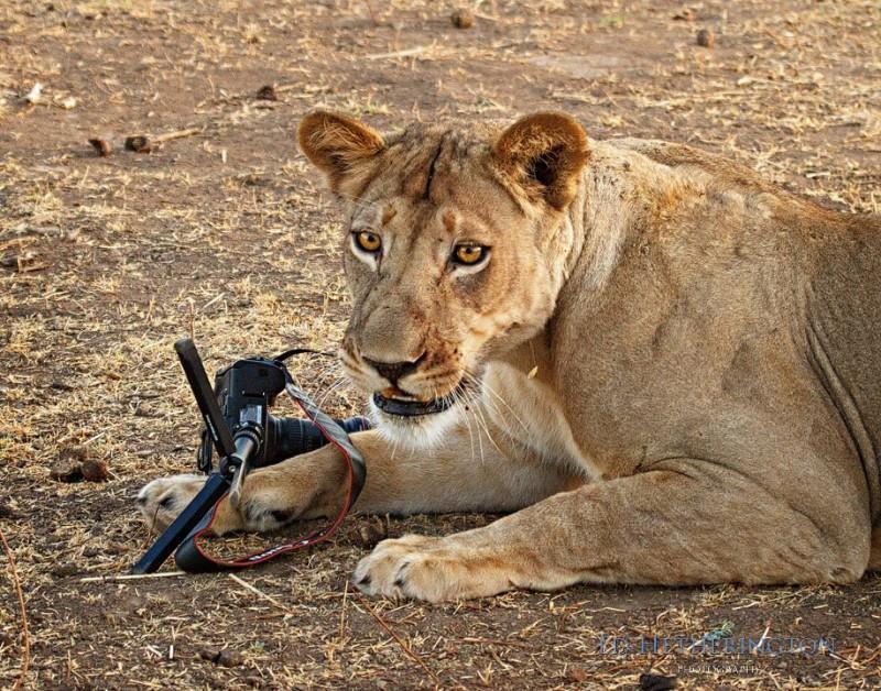 0 9d660  800x628 Львица утащила главный инструмент фотографа