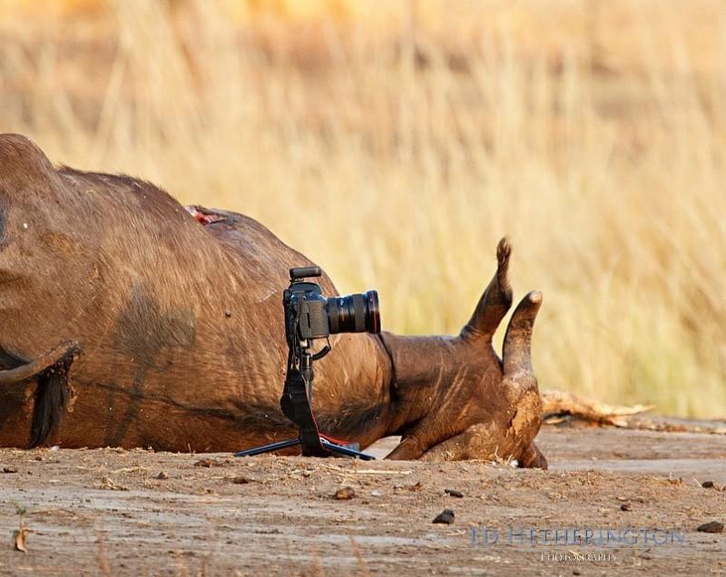 0 9d662 d7453ddf orig 800x636 Львица утащила главный инструмент фотографа