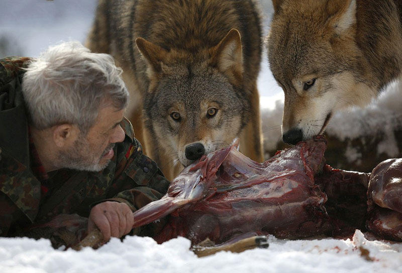 BIGPIC1 Изучая волков