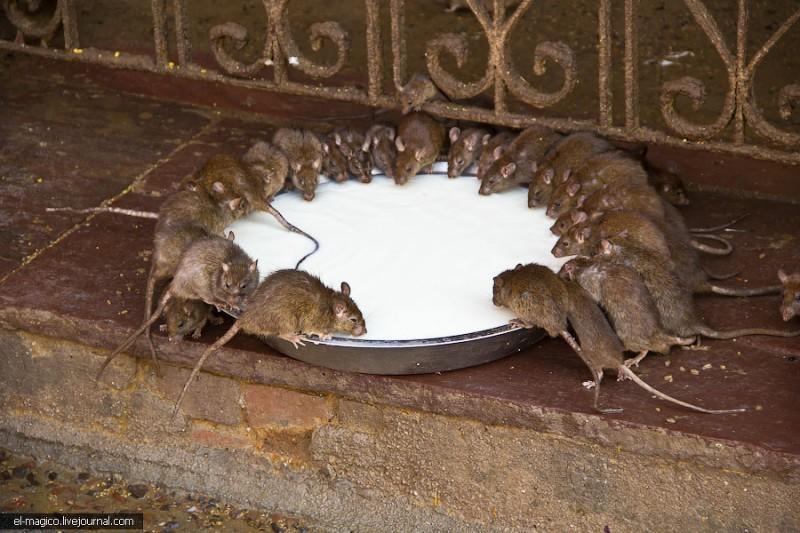 Храм 20 000 живыхкрыс