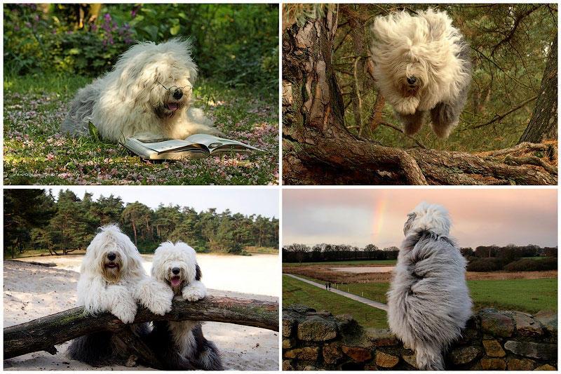 TEMP54 Две очаровательные пастушьи собаки из Голландии