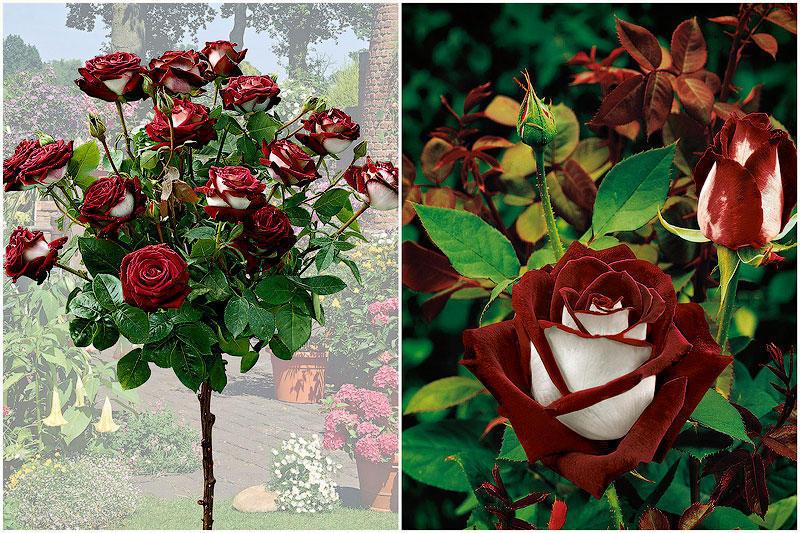 TEMP70 Роза сорта Osiria