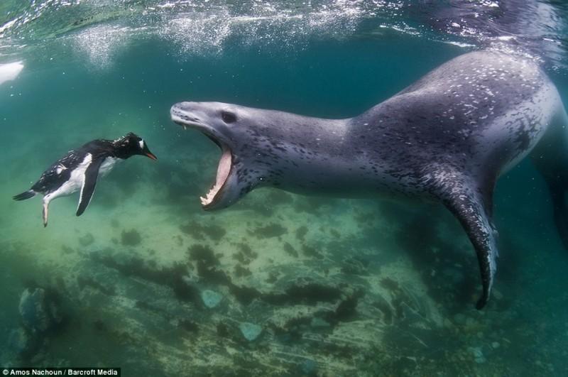 intojaws01 800x531 Последние секунды жизни пингвина