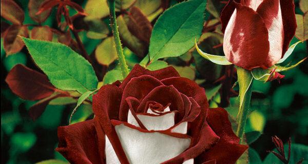 Удивительно красивая роза сорта Osiria