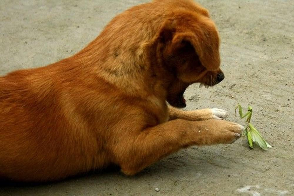 puppymantis01 Собачка против богомола