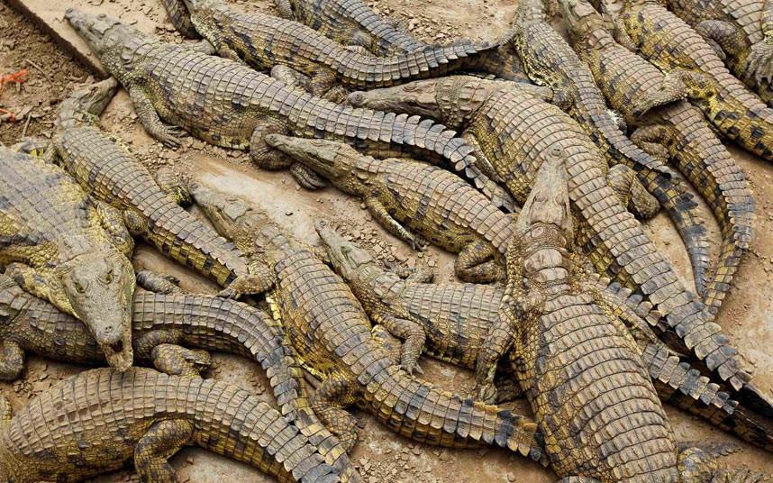 sbejavshiekrokodili 1 15 тысяч крокодилов сбежали с фермы в ЮАР и терроризируют местное население