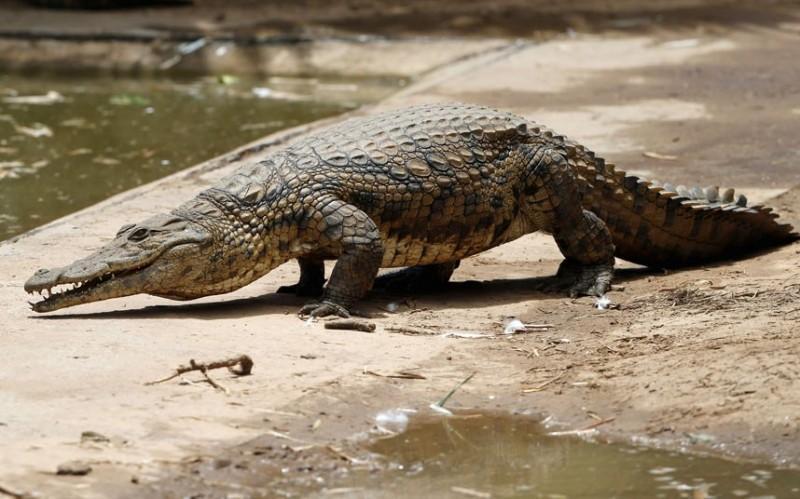 sbejavshiekrokodili 2 800x499 15 тысяч крокодилов сбежали с фермы в ЮАР и терроризируют местное население