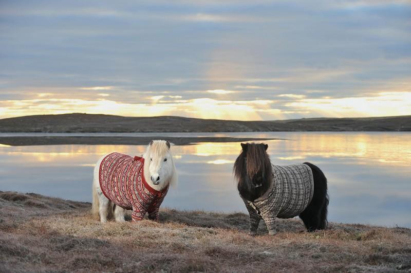 shetlandponies01 800x531 Очаровательные шотландские пони в свитерах