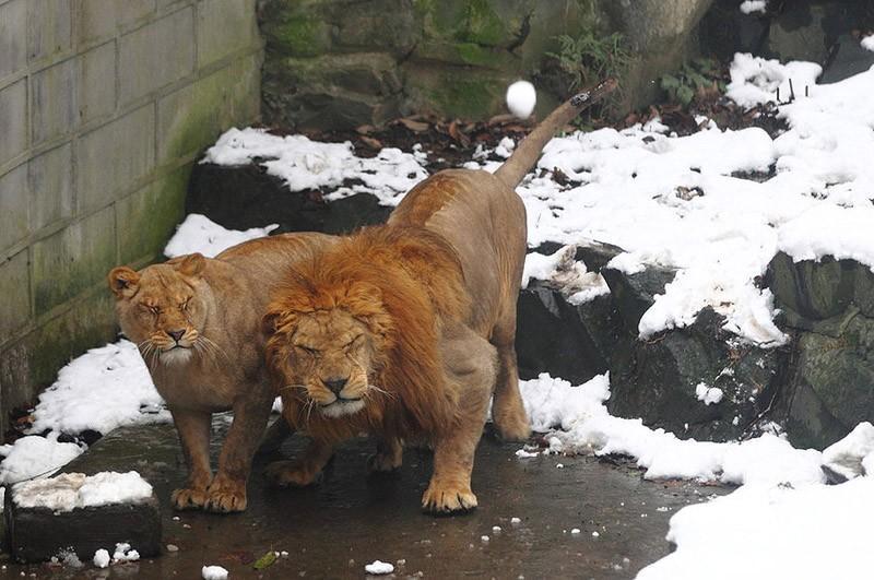 snowlion01 Посетители китайского зоопарка забросали львов снежками