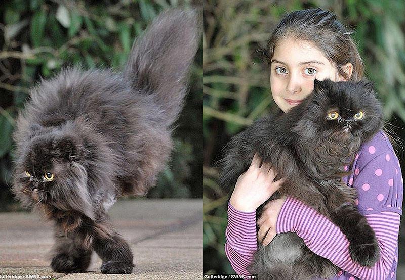 Bigpic42 двуногий персидский кот