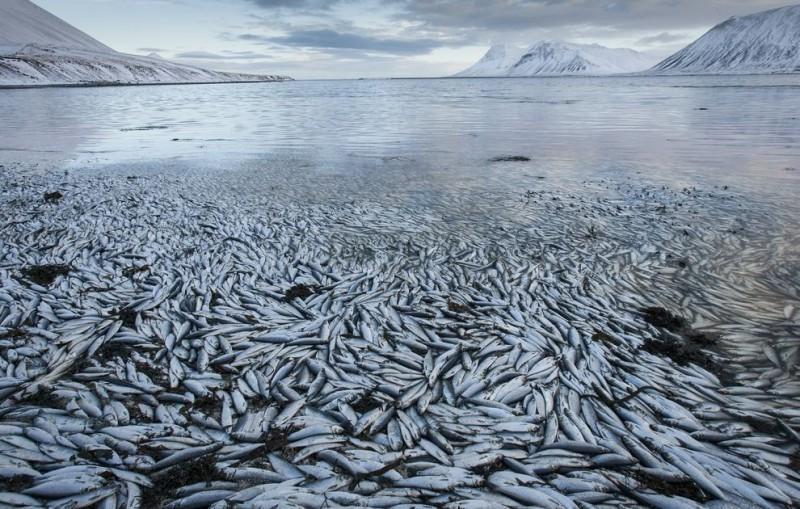 Clupea04 800x509 Рыбный апокалипсис в Исландии – погибло 30.000 тонн сельди