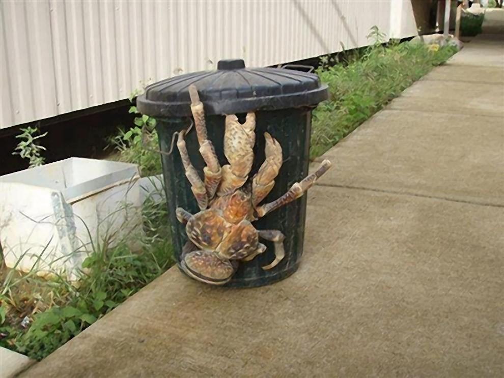 Coconut crab (33 photos) 24Warez.Ru