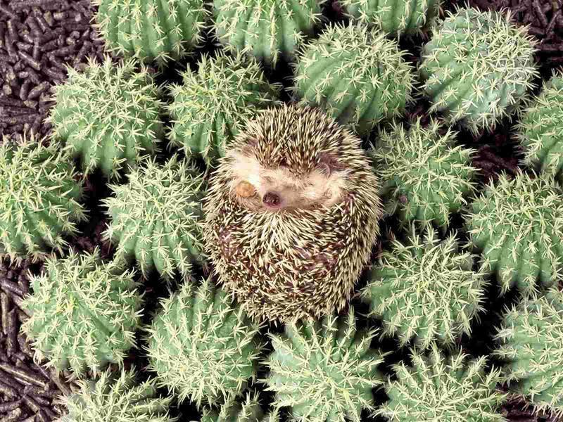 Hedgehogs01 Ёжики настоящие и нет