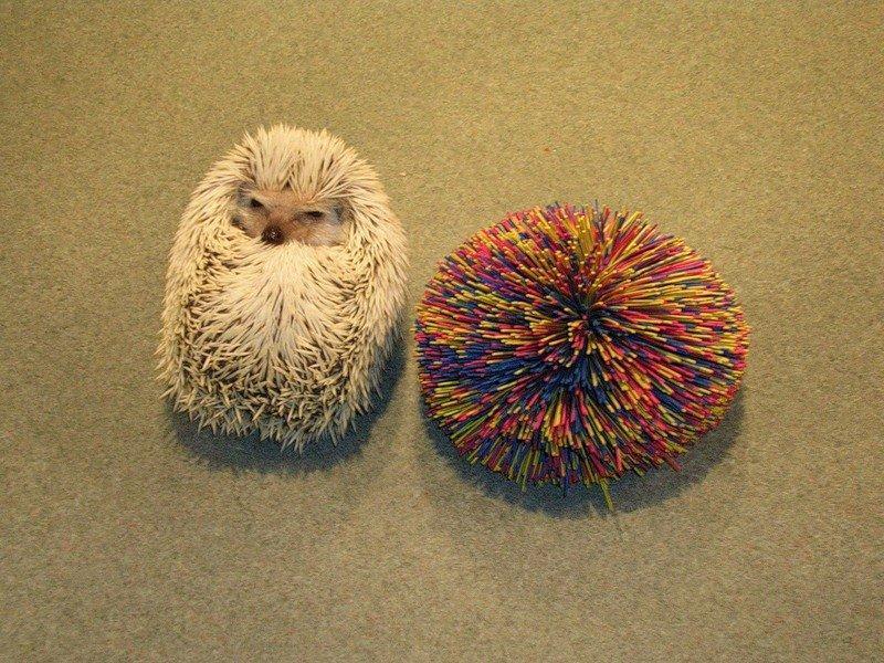 Hedgehogs02 Ёжики настоящие и нет