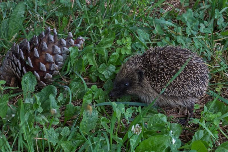 Hedgehogs04 Ёжики настоящие и нет