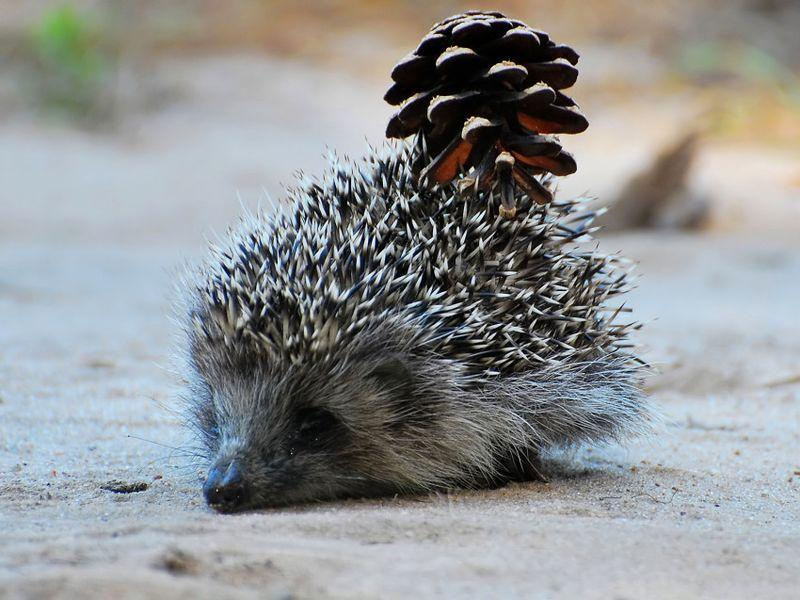 Hedgehogs05 Ёжики настоящие и нет