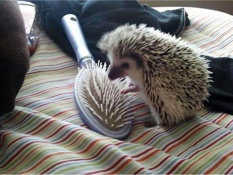 Hedgehogs07 Ёжики настоящие и нет