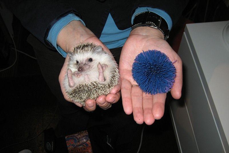 Hedgehogs08 Ёжики настоящие и нет