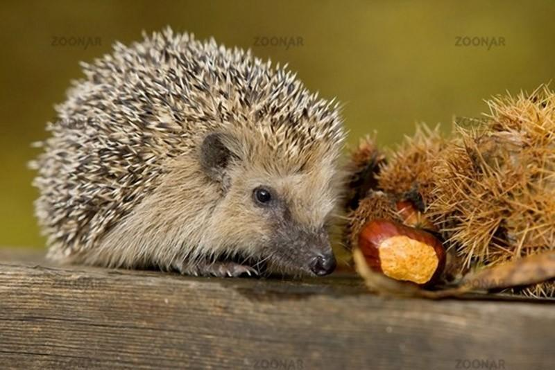 Hedgehogs09 Ёжики настоящие и нет