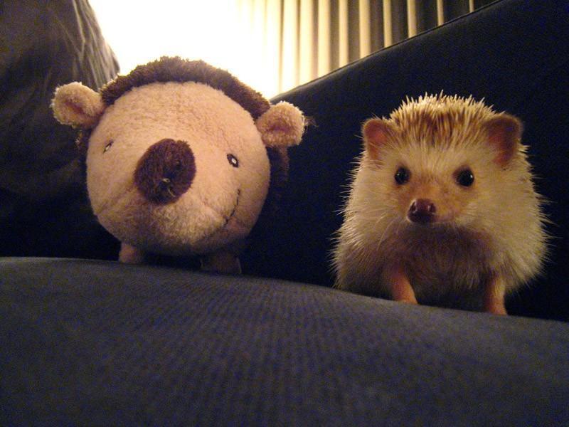 Hedgehogs10 Ёжики настоящие и нет