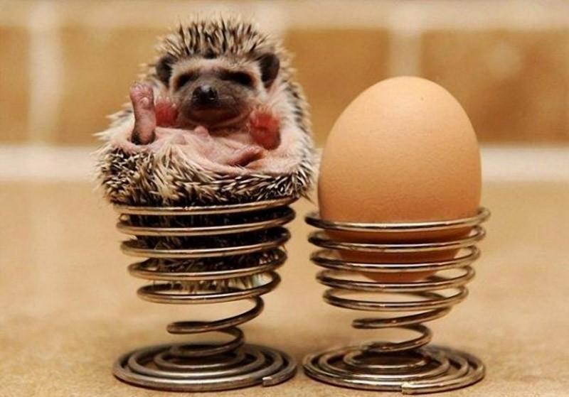Hedgehogs11 Ёжики настоящие и нет