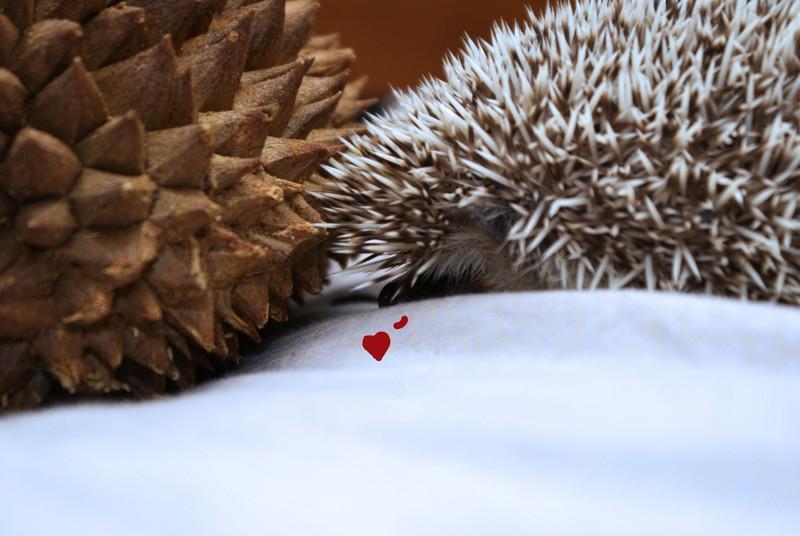 Hedgehogs13 Ёжики настоящие и нет