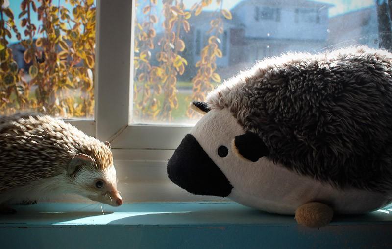 Hedgehogs15 Ёжики настоящие и нет