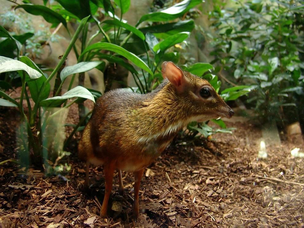 Javamousedeer01 Чудо природы   олень размером с мышь!