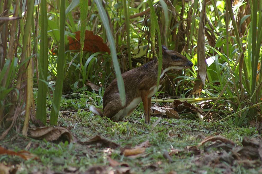 Javamousedeer02 Чудо природы   олень размером с мышь!