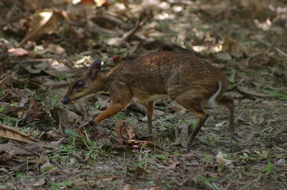 Javamousedeer04 Чудо природы   олень размером с мышь!