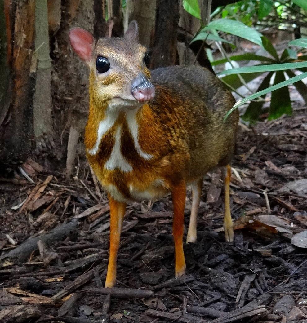 Javamousedeer05 Чудо природы   олень размером с мышь!