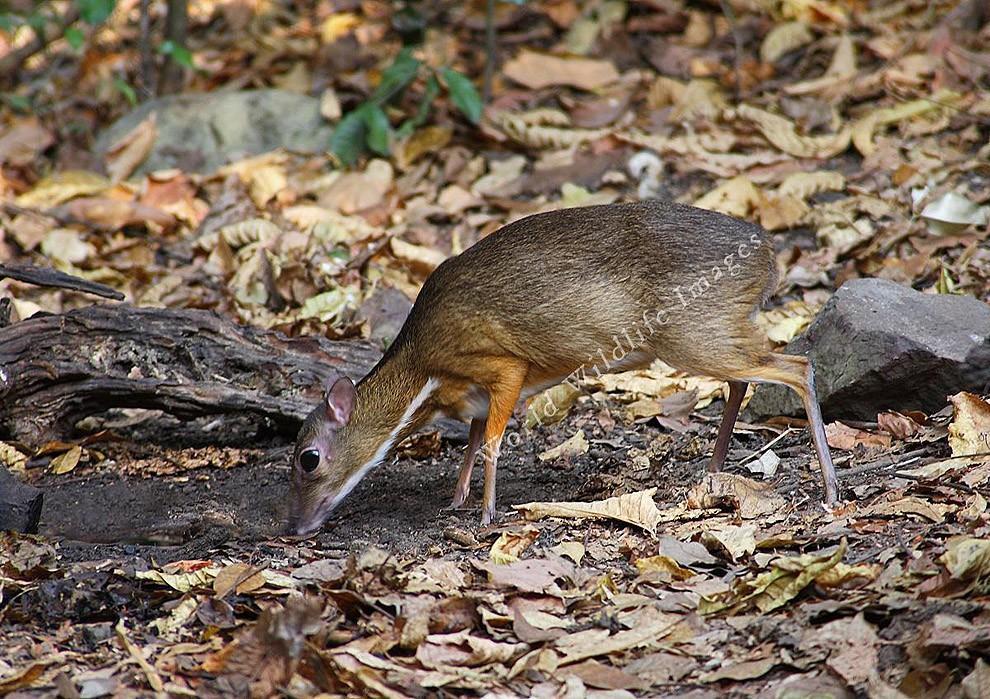 Javamousedeer06 Чудо природы   олень размером с мышь!