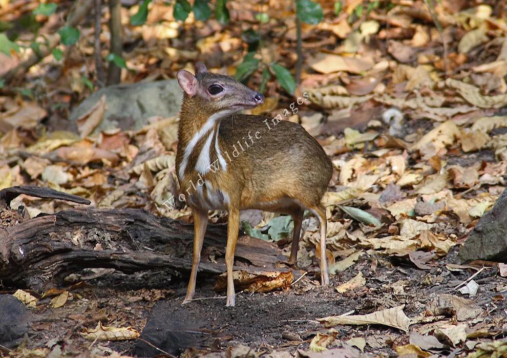 Javamousedeer07 Чудо природы   олень размером с мышь!