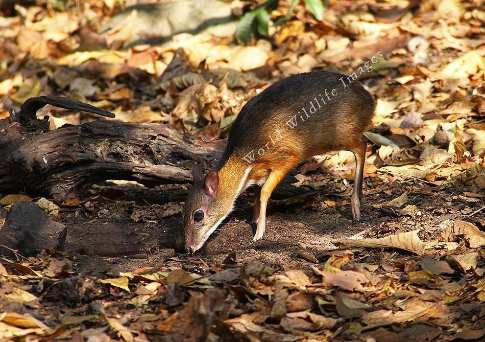 Javamousedeer08 Чудо природы   олень размером с мышь!