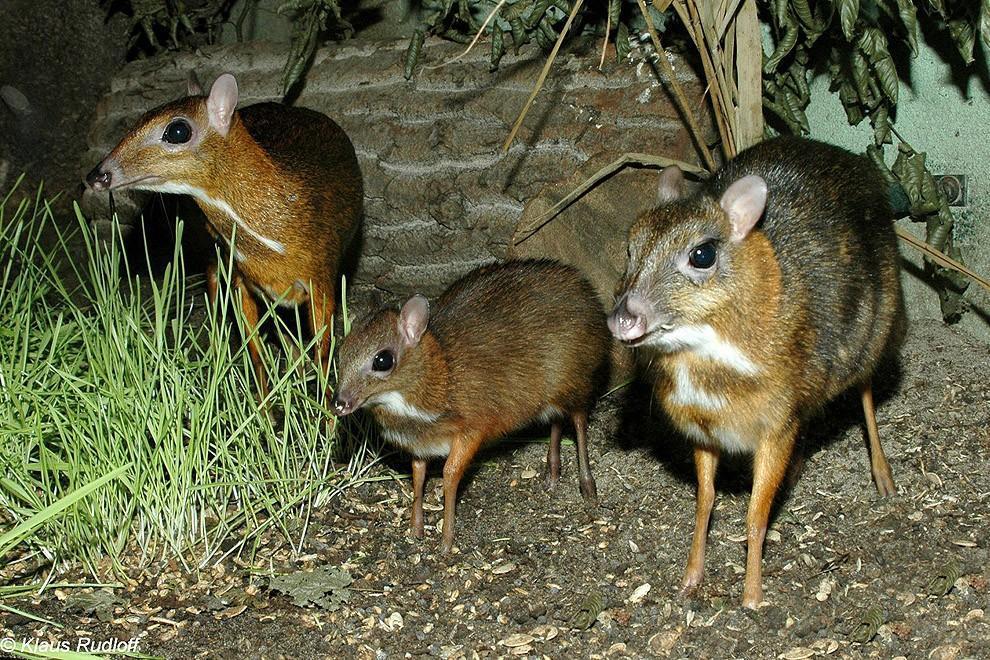 Javamousedeer09 Чудо природы   олень размером с мышь!