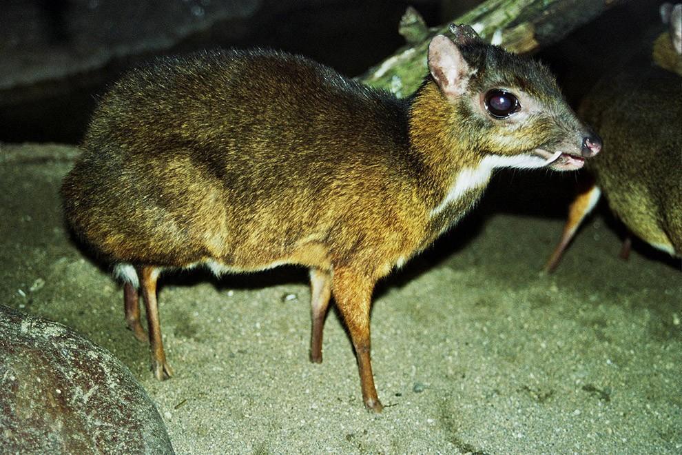 Javamousedeer10 Чудо природы   олень размером с мышь!