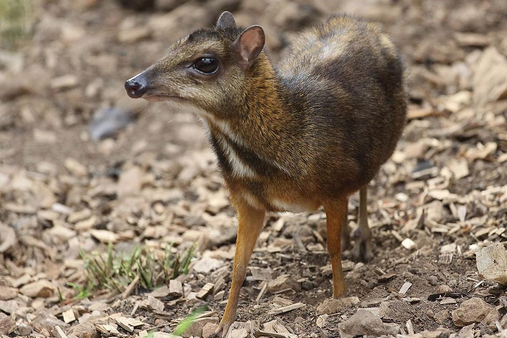 Javamousedeer11 Чудо природы   олень размером с мышь!
