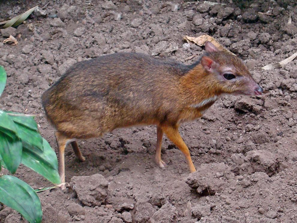 Javamousedeer12 Чудо природы   олень размером с мышь!