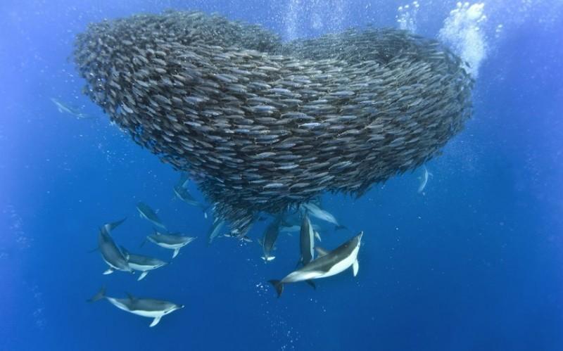 Дельфины и акулы охотятся на стаю скумбрии около Азорских островов