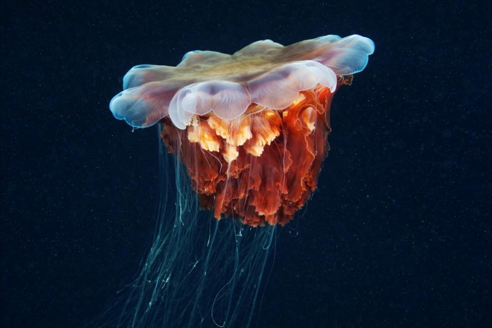 Semyonov16 Морские организмы на фотографиях Александра Семёнова